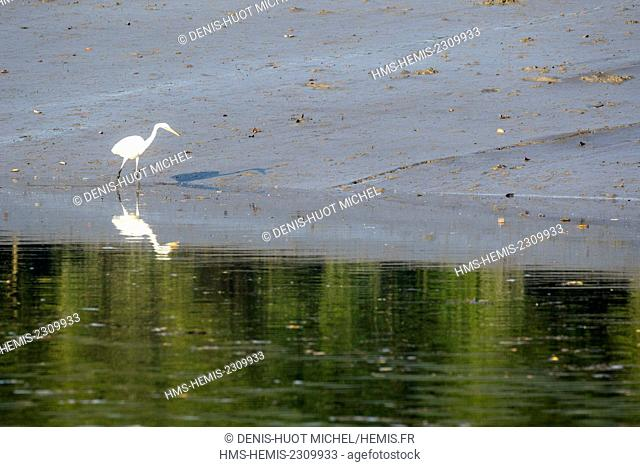 India, West Bengal, Sundarbans national park, great egret (Ardea alba), fishing in the mangrove swamp