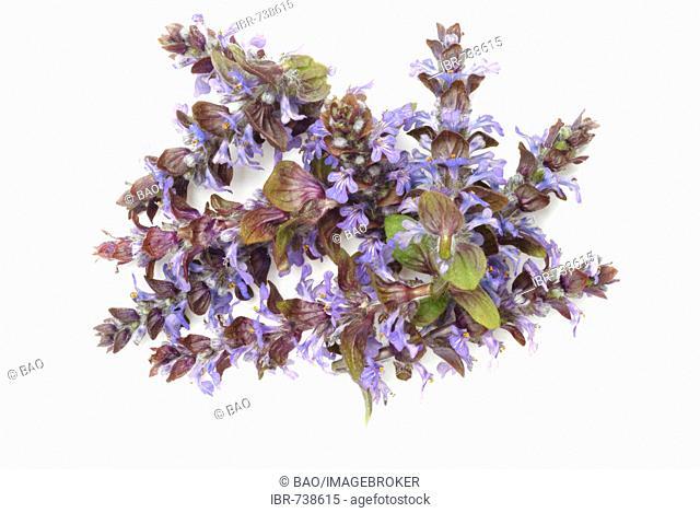 Blue Bugle, Bugleweed or Bugleherb (Ajuga reptans), medicinal plant