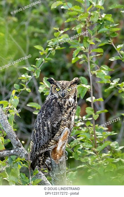 Great Horned Owl (Bubo virginianus) hunts for prey, looks at camera while perched with ear feathers showing well, Potter March area, South of Anchorage