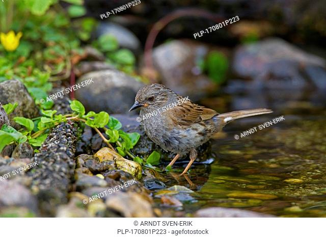 Dunnock / hedge accentor / hedge sparrow / hedge warbler (Prunella modularis) drinking water from brook