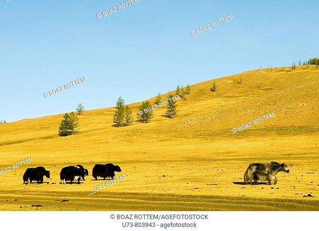 Yaks roam the vast Mongolian grasslands