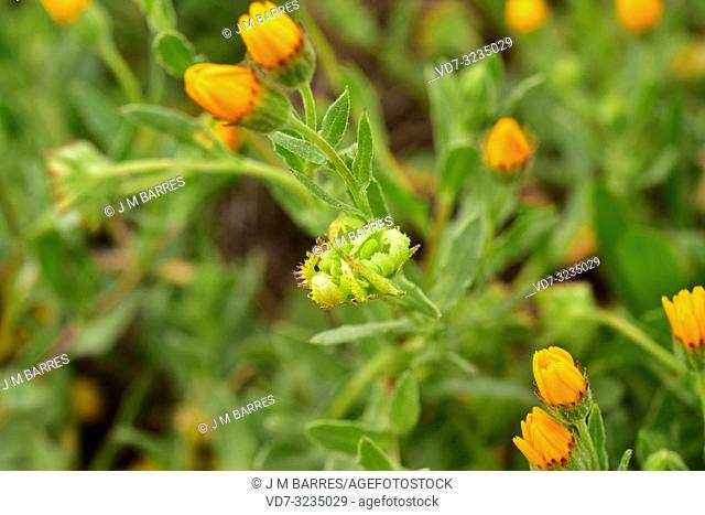 Field marigold (Calendula arvensis) is an annual or biennial herb native to Mediterranean Basin. Fruits detail. This photo was taken in Alt Emporda