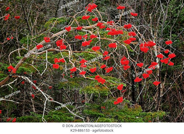 Mountain ash trees Sorbus spp  with berries in autumn