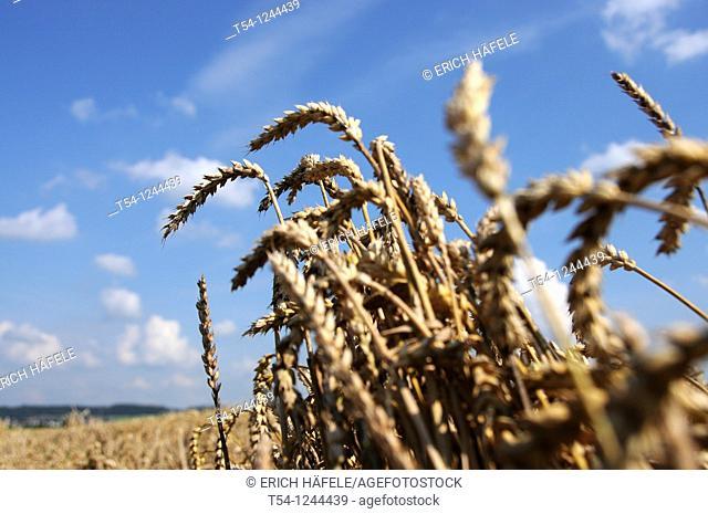 Ears of wheat in a grain field