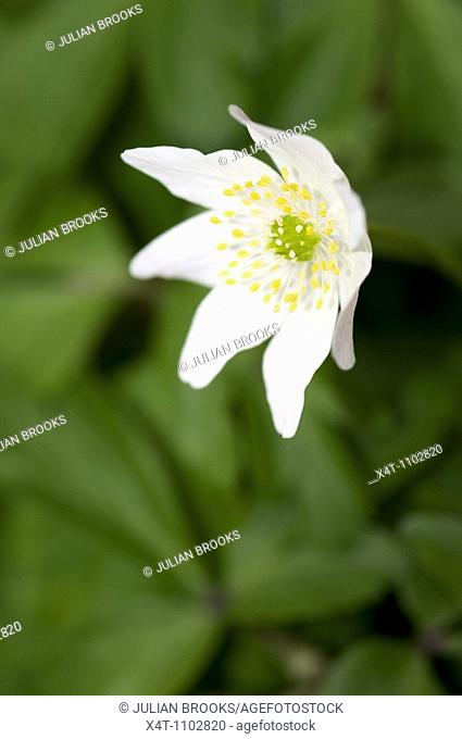 Close up with selective focus of the Wood Anemone Anemone nemerosa