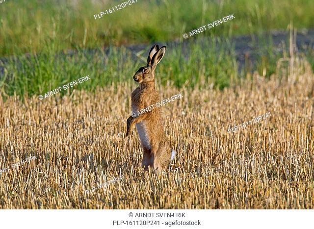 Alert European brown hare (Lepus europaeus) standing upright in stubblefield