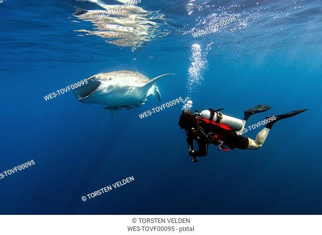Indonesia, Papua, Cenderawasih Bay, diver watching Whale shark
