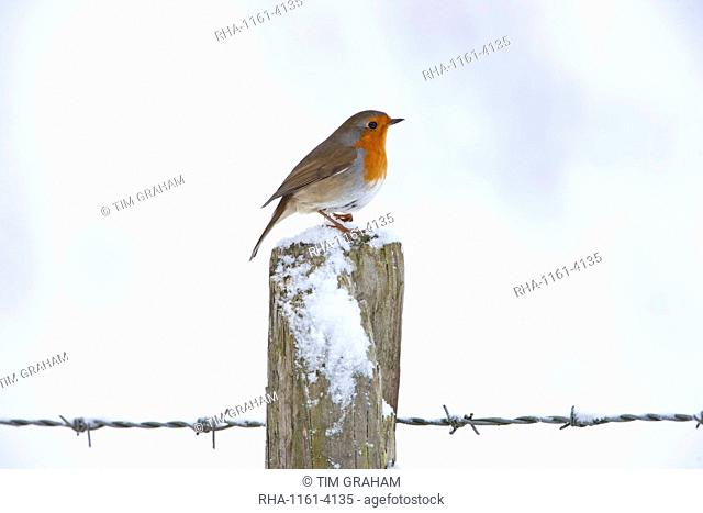 Robin on post by barbed wire by snowy hillside in The Cotswolds, UK