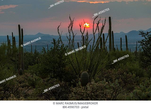 Cactus Landscape, Saguaro (Carnegiea gigantea) at sunset, National Park, Tucson, Arizona, USA