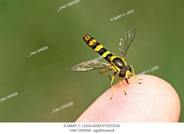 Sphaerophoria scripta on the photographer's finger  The flower fly imitates the markings of a small wasp, but is stingless  Head toward camera  Small colorful...