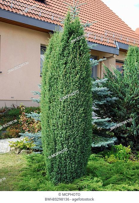 common juniper, ground juniper (Juniperus communis 'Hibernica', Juniperus communis Hibernica), cultivar Hibernica in a front yard