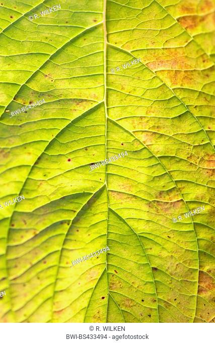 flowering dogwood, American boxwood (Cornus florida), veins on the underside of a leaf, Germany, North Rhine-Westphalia