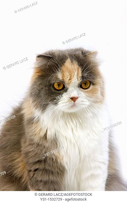 Blue Cream and White Highland Fold Domestic Cat, Female against White Background