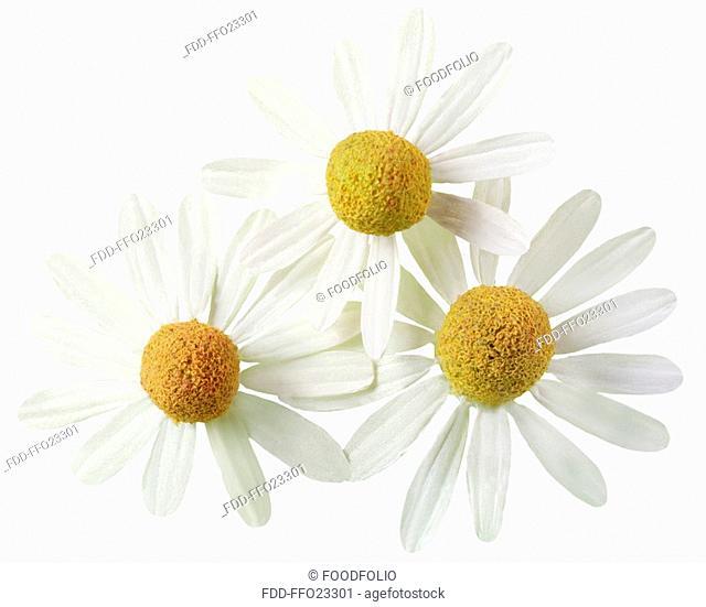 Three Chamomile Flowers On White