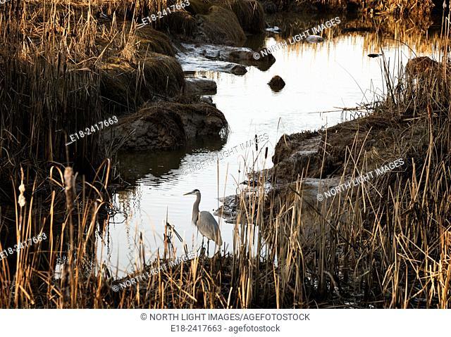 Canada, BC, Delta. Reifel Bird Sanctuary. Great Blue Heron (Ardea herodias) standing beside flood control canal in the Fraser River estuary near Vancouver