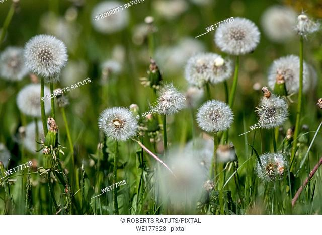 Beautiful white dandelion flowers in green grass. Meadow with dandelion flowers. Field flowers. Deflorate dandelions. Nature field flowers in meadow