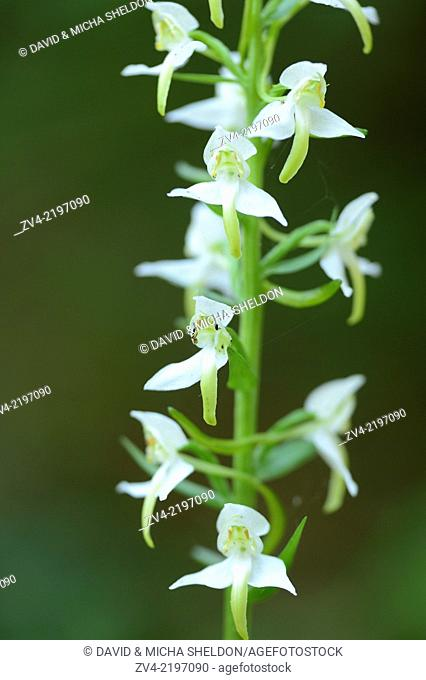 Platanthera chlorantha, commonly known as the Greater Butterfly-orchid
