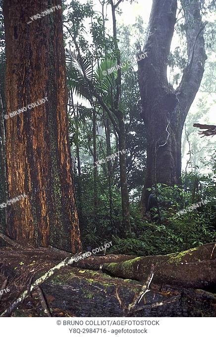 Rainforest at Mount Nardi. Nimbin. NSW, australia