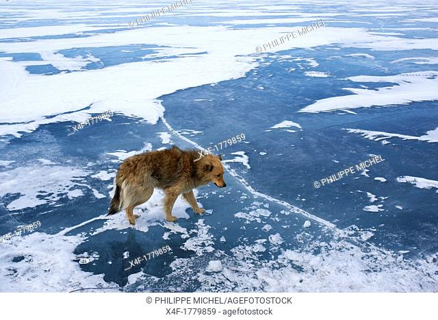 Russia, Siberia, Irkutsk oblast, Baikal lake, Maloe More little sea, frozen lake during winter, Piotre Medvedev dog