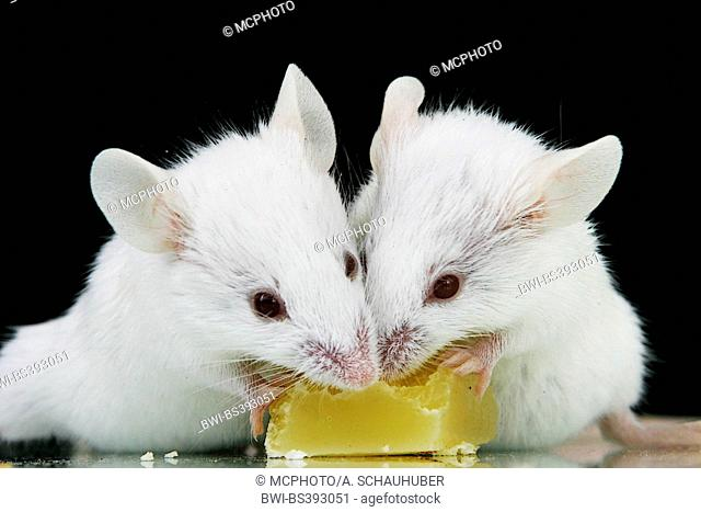 house mouse (Mus musculus), two white mice eating together a little piece of cheese