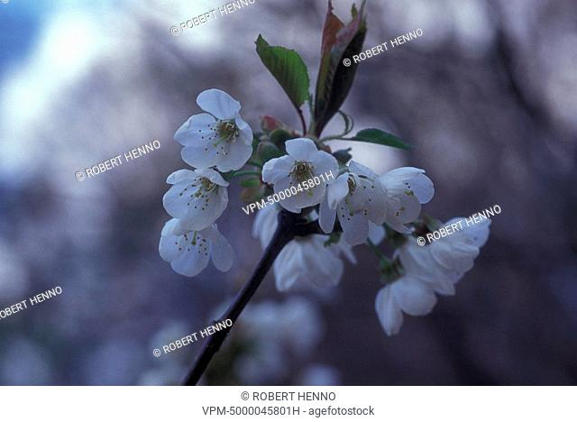 PRUNUS AVIUMSWEET CHERRY TREEIN BLOOM