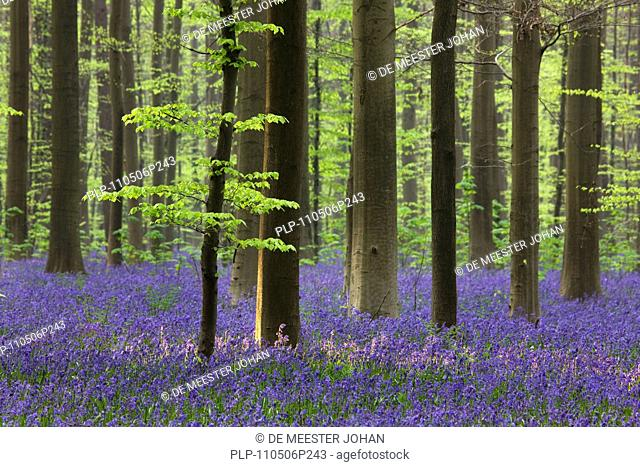 Bluebells Endymion nonscriptus in beech woodland Fagus sylvatica, Hallerbos, Belgium