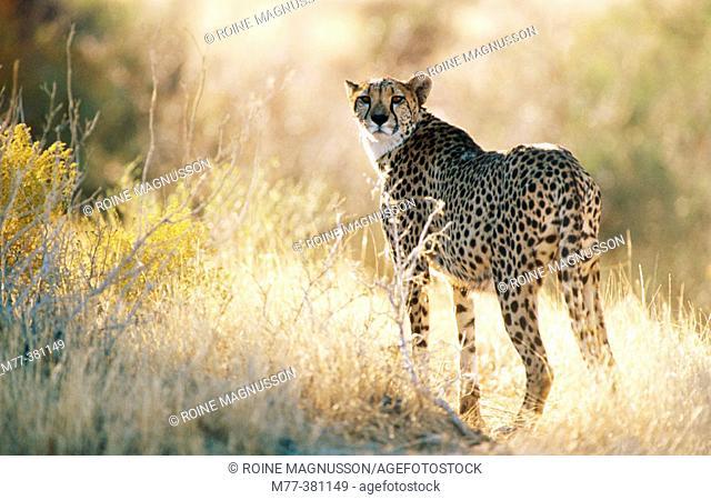 Cheetah (Acinonyx jubatus). Namibia