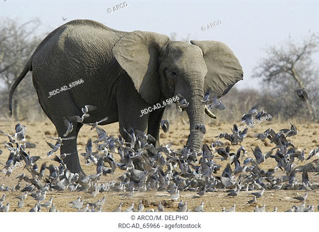 African Elephant and flight of pigeons Etosha national park Namibia Loxodonta africana