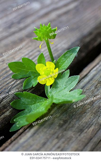 Little wild plant over wooden weathered background. Macro shot