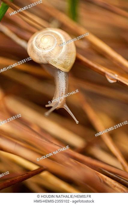 France, Savoie, Parc Naturel Regional de Chartreuse, snail