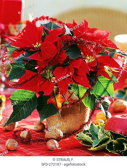 Poinsettia, variety 'Cortez Fire'