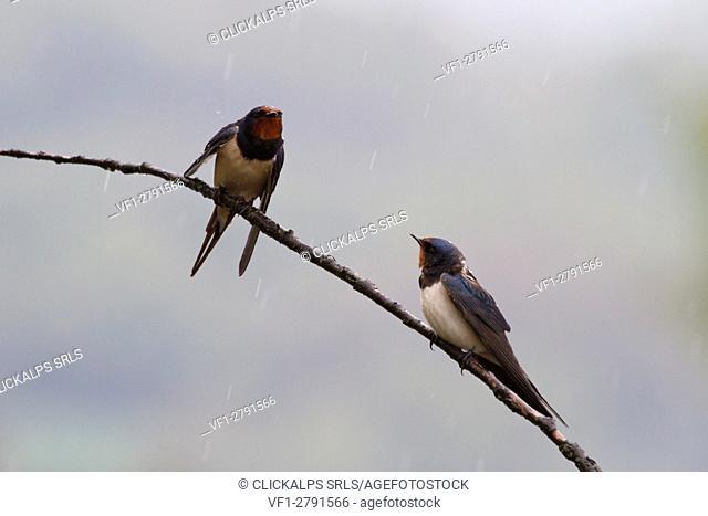 Sebino Natural Reserve, Lombardy, Italy. Swallow