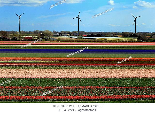 Blooming tulip field (Tulipa) in Alkmaar with windmills, Province of North Holland, Holland, The Netherlands