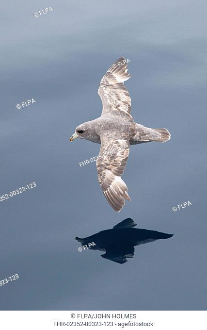 Northern Fulmar Fulmarus glacialis rodgersii intermediate morph, adult, in flight over sea, near Bering Island, Commander Islands, Bering Sea, Kamchatka Krai