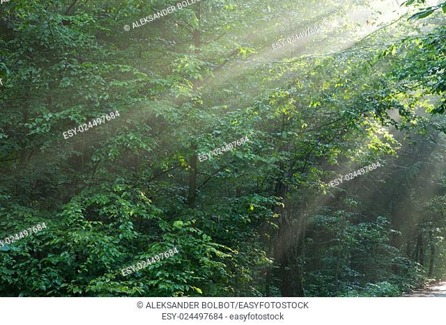 Hornbeam branches in light of sunrise and mist,Bialowieza Forest,Poland,Europe