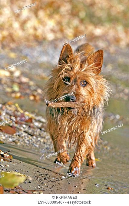 Australian Terrier at lakeshore,playing with stick