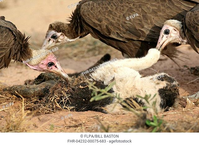 Hooded Vulture Necrosyrtes monachus adults and immature, feeding on dead domestic cat roadkill, Gambia, december