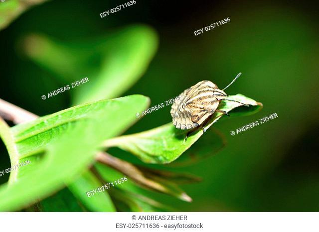 strip bugs larva on a leaf