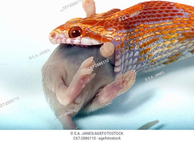 Corn Snake Elaphe guttata guttata eating mouse