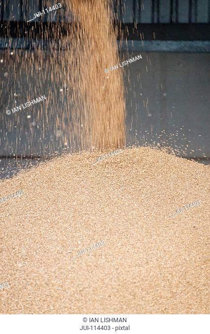 Close Up Of Wheat Grain Falling From Dryer Conveyor Pipe