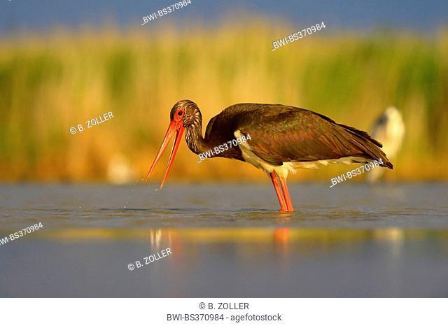 black stork (Ciconia nigra), adult fishing, Hungary