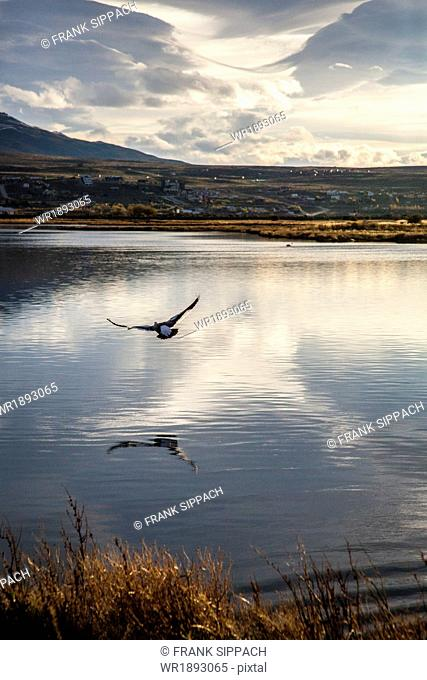Eagle flying over water, Patagonia, Argentina, South America