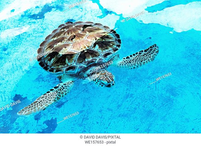 Hawksbill sea turtle Eretmochelys imbricata at a rehabilitation center in Cancun Mexico. The Hawksbill is a critically endangered sea turtle that lives in the...