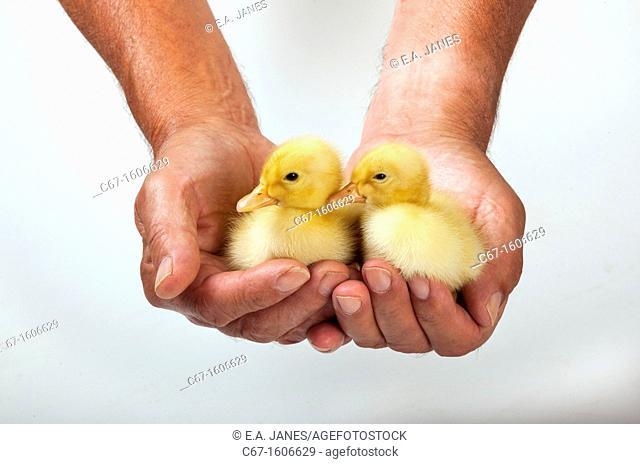 Ducklings in farmers hands