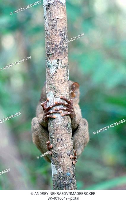 Philippine Tarsier (Carlito syrichta), hiding behind a tree trunk, Bohol Island, Southeast Asia, Philippines