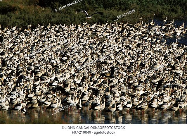 White Storks (Ciconia ciconia), migrating. Spain