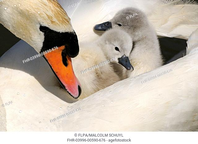 Mute Swan Cygnus olor two cygnets, on back of adult female, Abbotsbury, Dorset, England