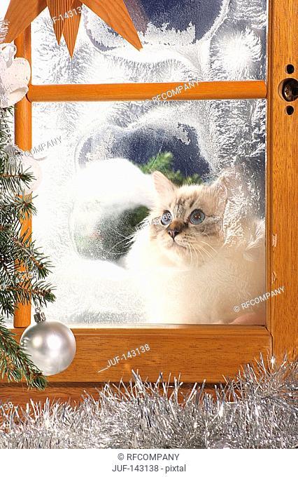 Sacred cat of Burma at the window