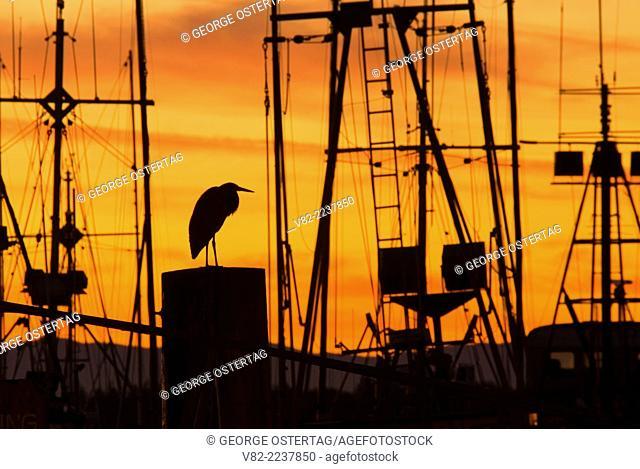 Great blue heron sunrise in harbor, Ilwaco, Washington