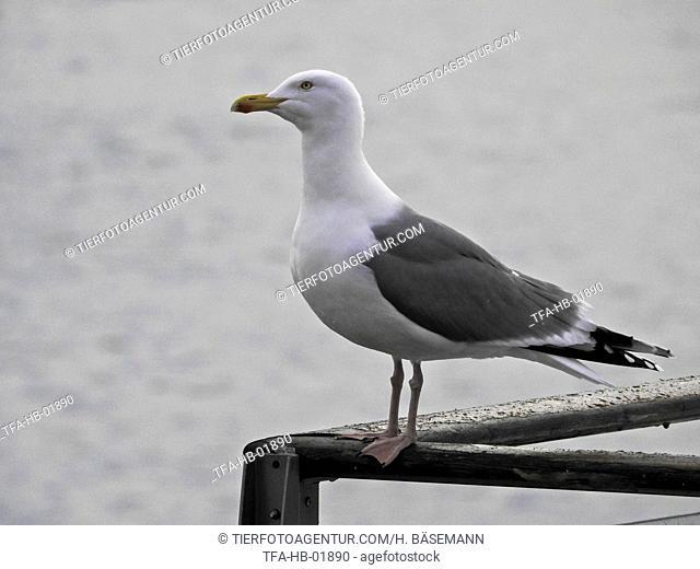 common european gull
